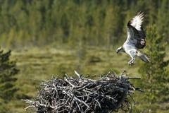 Osprey, Pandion haliaetus, Royalty Free Stock Images