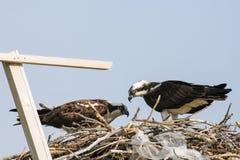 Osprey (Pandion haliaetus) Royalty Free Stock Image