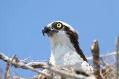 Osprey (pandion haliaetus) Stock Images