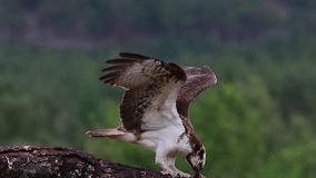 Osprey, pandion haliaetus, panoramic and still while feeding on trout on a branch in the cairngorm national park, scotland during. Osprey, pandion haliaetus stock footage