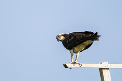 Osprey (Pandion haliaetus) Stock Photography