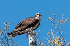 Osprey Pandion haliaetus perched on a tree stump royalty free stock photo