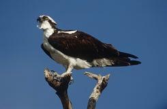 Osprey (Pandion haliaetus) perching on branch Royalty Free Stock Image