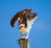 Osprey Pandion haliaetus  on a post eating fish Stock Images