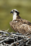 Osprey, Pandion haliaetus, Royalty Free Stock Photos