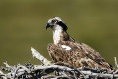 Osprey, Pandion haliaetus, Stock Image