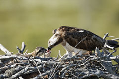 Osprey, Pandion haliaetus, Stock Photo