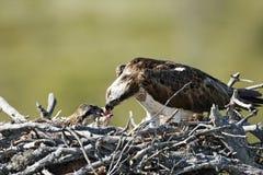Osprey, Pandion haliaetus, Stock Photo
