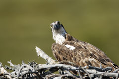 Osprey, Pandion haliaetus, Stock Image