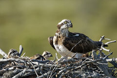 Osprey, Pandion haliaetus, Royalty Free Stock Image