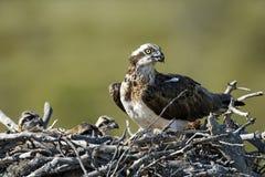 Osprey, Pandion haliaetus, Royalty Free Stock Image