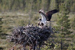 Osprey, Pandion haliaetus, Stock Images