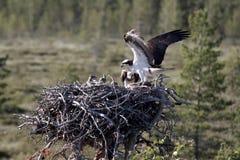 Osprey, Pandion haliaetus, Stock Images
