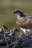 Osprey, Pandion haliaetus, Royalty Free Stock Photo
