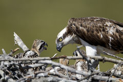 Osprey, Pandion haliaetus, Royalty Free Stock Photography