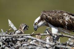 Osprey, Pandion haliaetus, Royalty Free Stock Photography