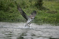 Osprey, Pandion haliaetus Stock Photos