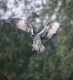 Osprey, Pandion haliaetus Royalty Free Stock Photo