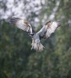 Osprey, Pandion haliaetus Royalty Free Stock Photo