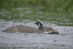 Osprey, Pandion haliaetus Stock Image