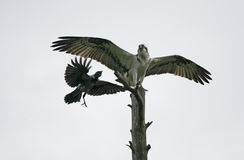 Osprey, Pandion haliaetus Stock Images