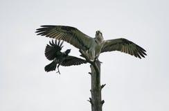 Osprey, Pandion haliaetus Stock Images
