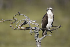 Osprey, Pandion haliaetus, Stock Photos