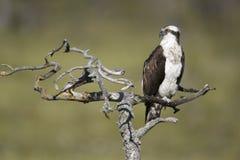 Osprey, Pandion haliaetus, Stock Photos