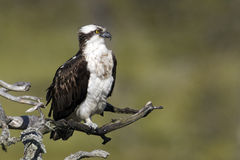 Osprey, Pandion haliaetus, Royalty Free Stock Images