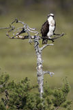 Osprey, Pandion haliaetus, Stock Photography