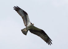 Osprey - Pandion haliaetus Royalty Free Stock Photography
