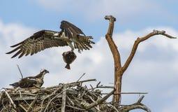 Osprey (Pandion haliaetus) Stock Photo