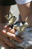 Osprey (Pandion haliaetus) Talons. Conservationist holds onto juvenile Osprey (Pandion haliaetus) talons during banding day royalty free stock photos