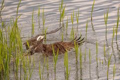 The osprey Pandion haliaetus usually lands in the water during the hunting attempt. Then takes off again after a few seconds with a few strong wing beats royalty free stock photos