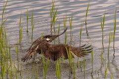 The osprey Pandion haliaetus usually lands in the water during the hunting attempt. Then takes off again after a few seconds with a few strong wing beats stock image