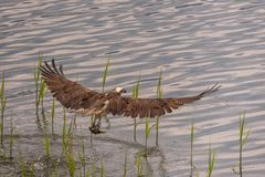 The osprey Pandion haliaetus usually lands in the water during the hunting attempt. Then takes off again after a few seconds with a few strong wing beats stock photography