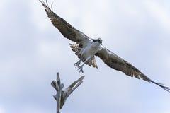 Osprey, pandion haliaetus, viera, florida. Osprey, pandion haliaetus, viera florida Stock Images