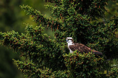 Osprey (Pandion haliaetus) Royalty Free Stock Image