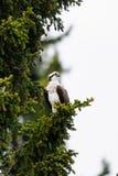 Osprey (Pandion haliaetus) Royalty Free Stock Photography