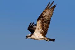 Osprey (Pandion haliatus) Royalty Free Stock Photos