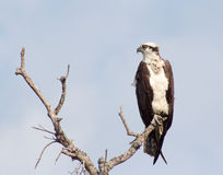 Osprey on Perch. Juvenile osprey on its perch looking intent Royalty Free Stock Photo