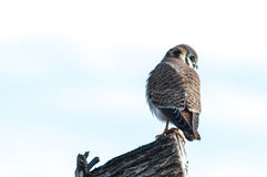 Kestrel on perch. Sometimes called a chicken hawk, this small member of the hawk family is one cute raptor Stock Photo
