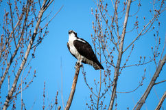 Osprey perched on a branch Stock Photo