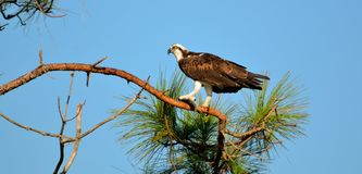 Osprey perched on branch Stock Photos