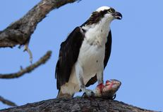Osprey perched on branch with blue sky background royalty free stock image