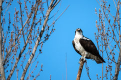 Osprey perched on a branch Royalty Free Stock Images