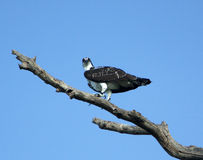 Osprey Perched On Branch Royalty Free Stock Photography