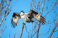 Osprey perched on a branch with wings spread Stock Images