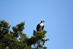 Osprey perched on branches Stock Photography