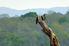 Osprey perched on dead tree. Two Ospreys perched on a dead tree trunk on the shores of the Bhadra Reservoir, inside the Bhadra Tiger Reserve on the Western Ghats Royalty Free Stock Photo